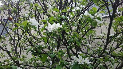 リンゴの花が咲いていました